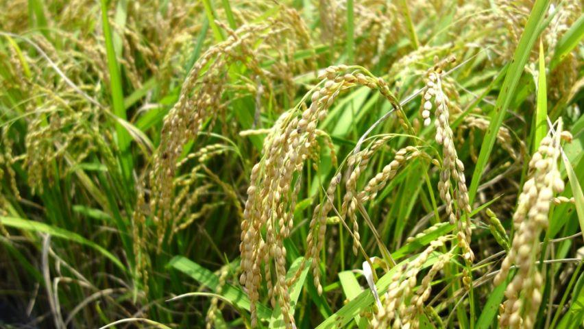 108年第1期作軟秈稻穀收購價差輔導措施案
